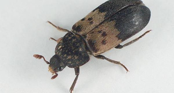 kleine schwarz-graue käfer auf der fensterbank: speckkäfer