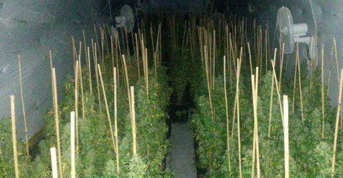 Cannabis-Plantage im Weinkeller