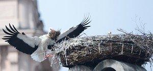 Neue Wohnungen für Adebar: Storchenverein Rust baute Nester