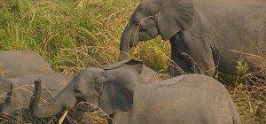 Wilderer im Südsudan töteten in zwei Jahren 500 Elefanten