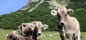 Drei Rinder-TBC-Verdachtsfälle nach ersten Proben in Vorarlberg