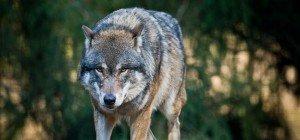 Wolf treibt im Waldviertel sein Unwesen: Vier Rehe gerissen