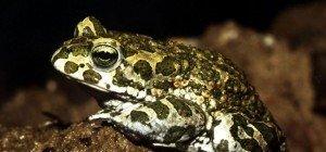 Freiwillige Amphibienschützer vom Naturschutzbund NÖ gesucht