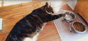 Garfield in echt: So trinken faule Katzen ihr Wasser