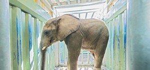 Elefantenbulle Tuluba verlässt Schönbrunn und reist nach Frankreich