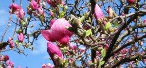 Die Magnolie im VOL.AT-Gartentipp