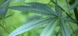 In Deutschland gibt es bald Cannabis auf Rezept