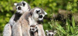 Entzückender Nachwuchs bei den Kattas im Zoo Salzburg