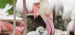Flamingo-Küken im Tiergarten Schönbrunn geschlüpft