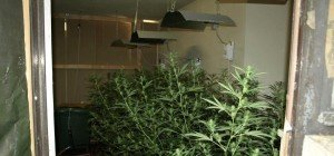 Cannabis-Aufzuchtanlagen in NÖ entdeckt: 194 Pflanzen aufgezogen