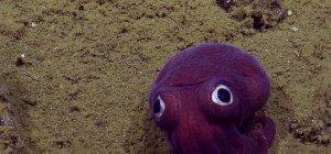 Lila Tintenfisch am Meeresgrund begeistert Wissenschaftler