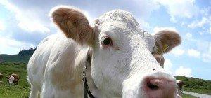 Muhendes Diebesgut: 500 Kühe von Weide in Neuseeland gestohlen