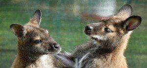 Australische Mutter kämpfte mit aggressivem Känguru