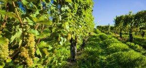 Idyllische Spaziergänge und Spaß für Groß und Klein: Die Wiener Weinwandertage