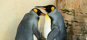 Königspinguin-Küken im Tiergarten Schönbrunn zeigt sich jetzt