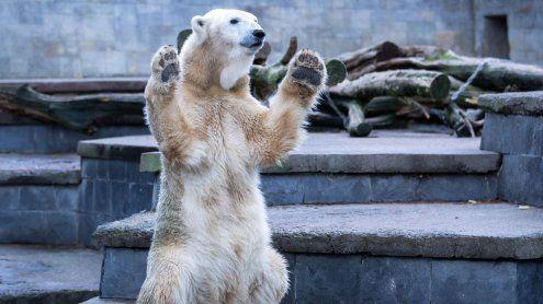 Zum heutigen Tag des Eisbären: Die süßesten Polarbären-Videos