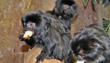 Affenbande im Haus des Meeres: Springtamarine