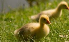 Wiener Tierschutzverein versorgt Entenkücken
