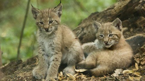 Zwillinge: Tiergarten Schönbrunn freut sich über Luchs-Nachwuchs