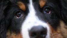 Auto samt Berner Sennenhund gestohlen