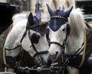 35 Grad erwartet: Fiaker-Pferde in Wien könnten erstmals hitzefrei bekommen