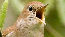 Jeder dritte Singvogel kehrt nicht zurück