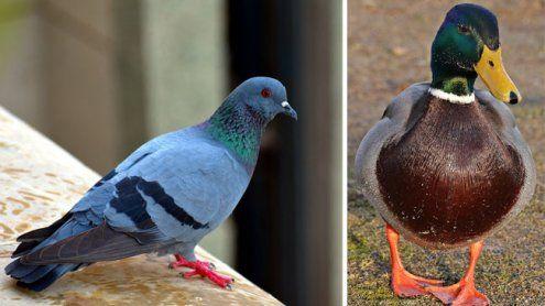 Frau hielt 30 Tauben und fünf Enten in einer Wohnung in Wien