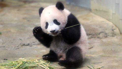 Panda-Baby in Zoo in Tokio erstmals in Öffentlichkeit