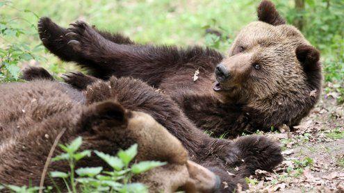 Gehege sei nicht artgerecht: Zoo tötete zwei gesunde Braunbären