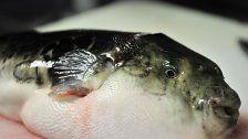 Tödlich: Kugelfisch mit Leber in Japan verkauft