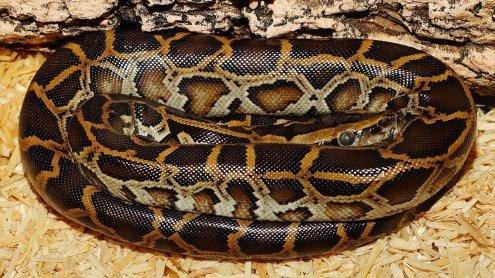 Reptilienhalter ließ Krokodil und 3-Meter-Würgeschlange erfrieren