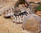 Haus des Meeres freut sich über Nachwuchs bei Uracoan-Klapperschlangen