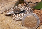 Klapperschlangen-Nachwuchs im Wiener Haus des Meeres