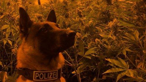 Von Polizei entdeckt: 40-jähriger Mann hielt 132 Cannabispflanzen